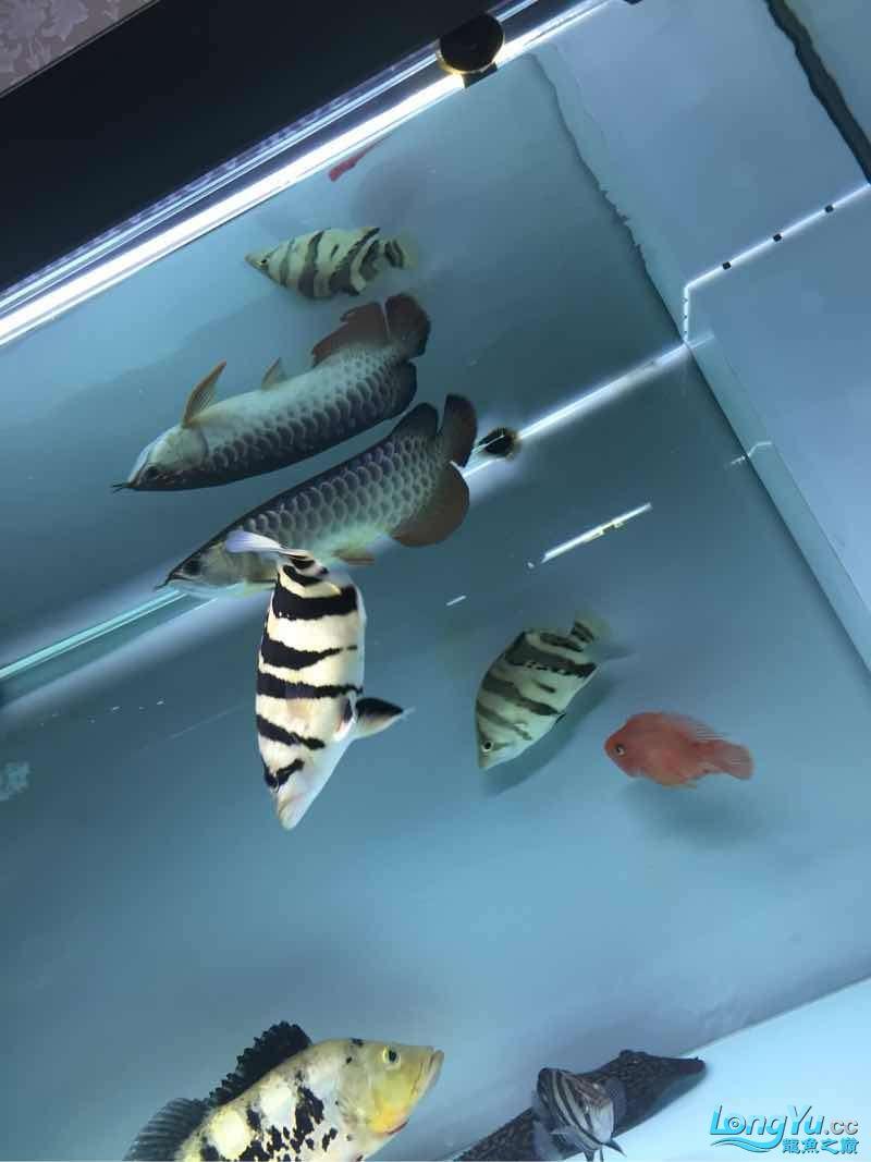 纹不怎么样但是很喜欢 北京观赏鱼 北京龙鱼第1张