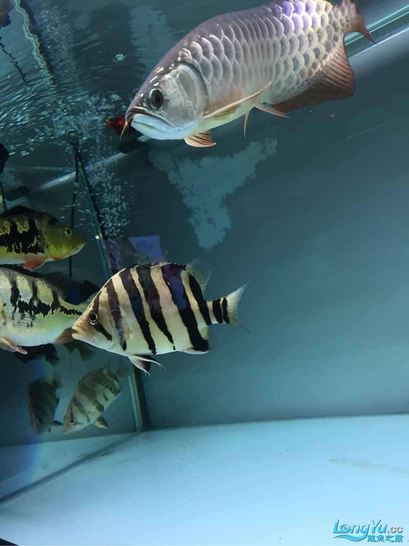 纹不怎么样但是很喜欢 北京观赏鱼 北京龙鱼第2张
