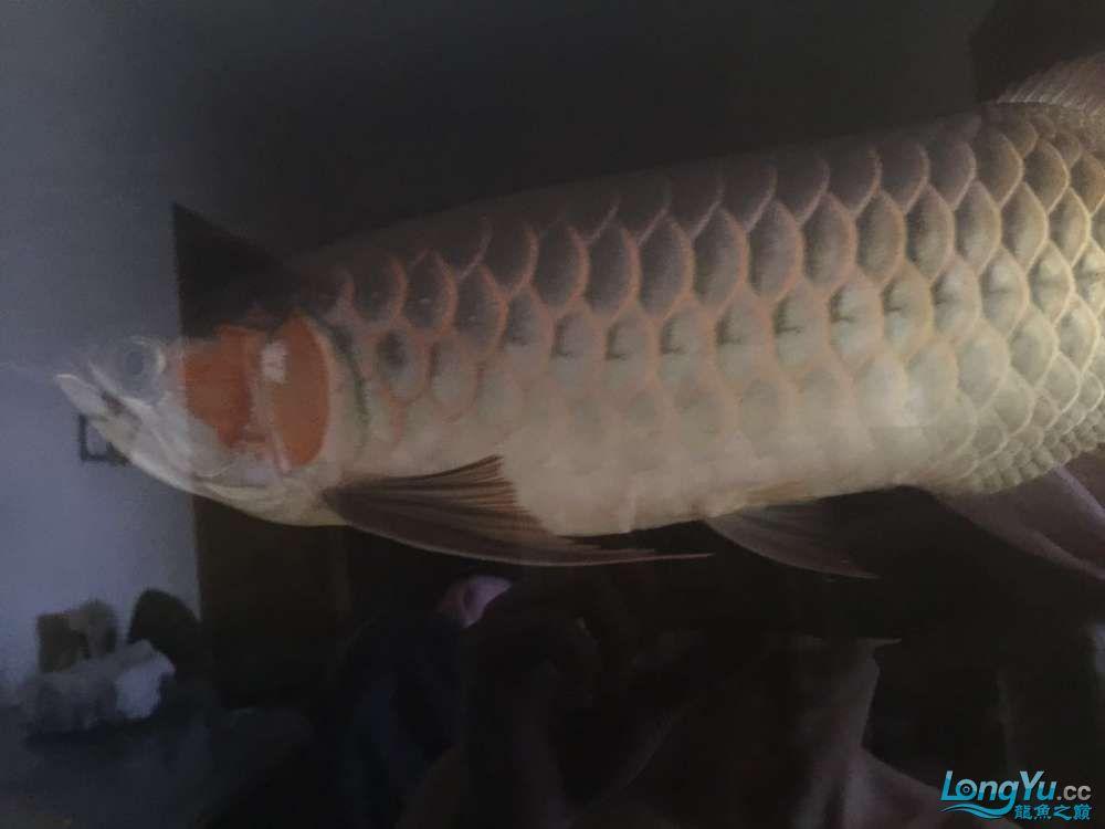 自然光下的小龙 北京观赏鱼 北京龙鱼第2张