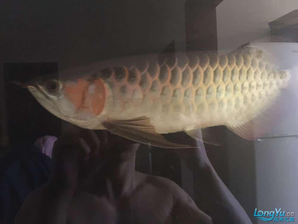 自然光下的小龙 北京观赏鱼 北京龙鱼第3张