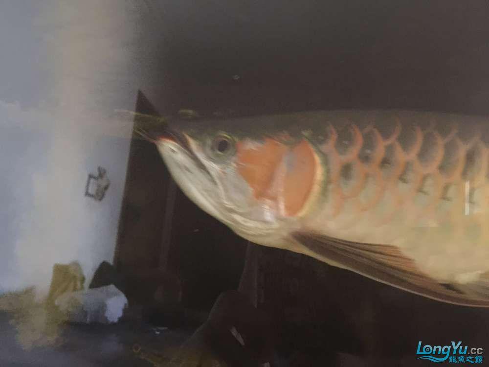 自然光下的小龙 北京观赏鱼 北京龙鱼第4张