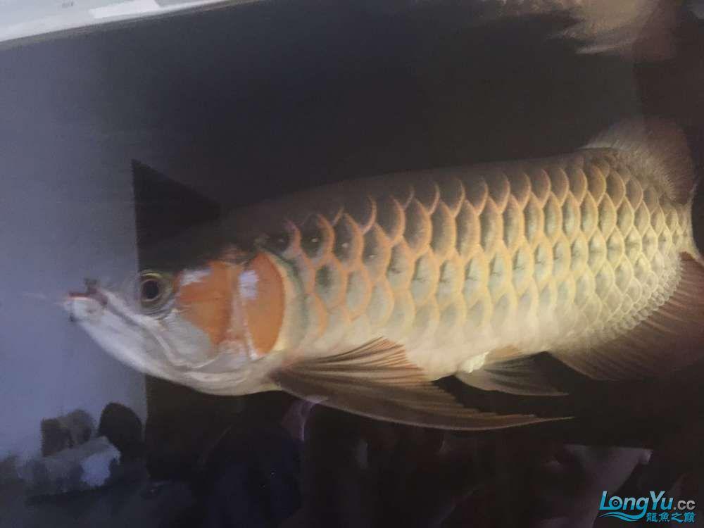 自然光下的小龙 北京观赏鱼 北京龙鱼第5张