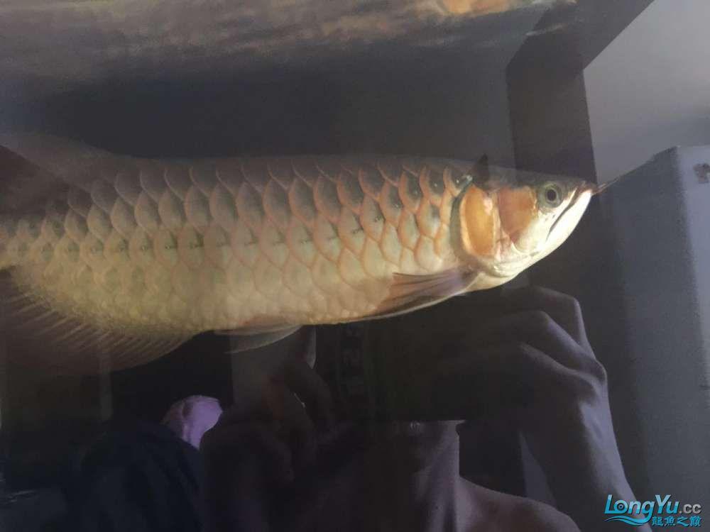自然光下的小龙 北京观赏鱼 北京龙鱼第6张