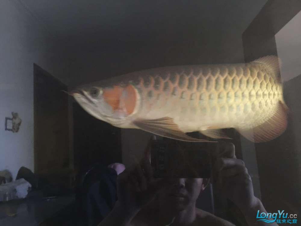 自然光下的小龙 北京观赏鱼 北京龙鱼第7张