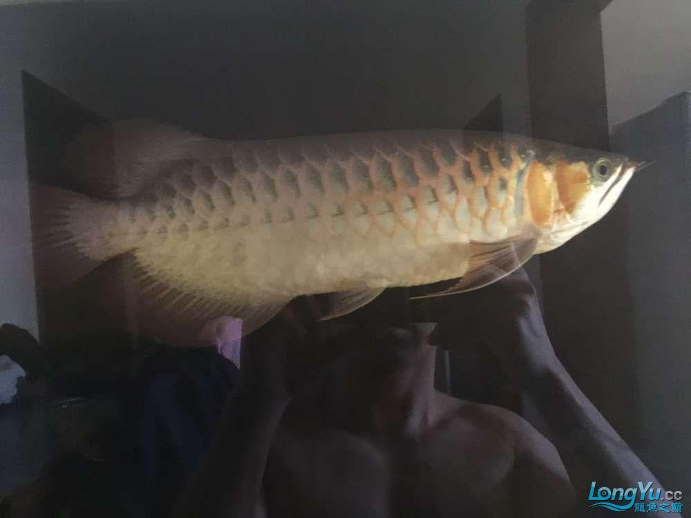 自然光下的小龙 北京观赏鱼 北京龙鱼第8张