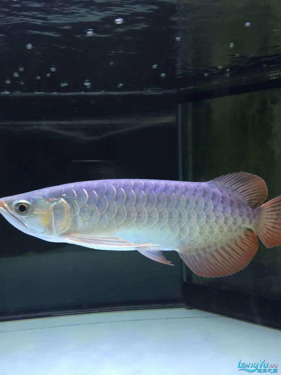 自然光下的小龙 北京观赏鱼 北京龙鱼第10张