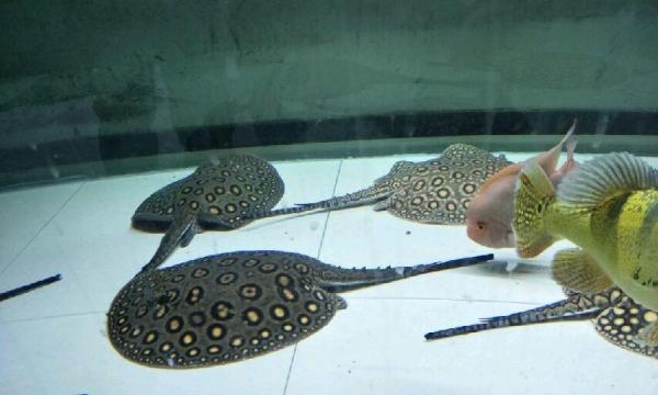 自然光下的小龙 北京观赏鱼 北京龙鱼第11张