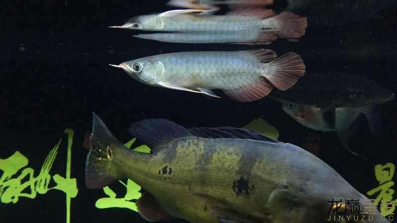 请问我这条是辣椒红龙还是印尼红龙呢 北京观赏鱼 北京龙鱼第1张