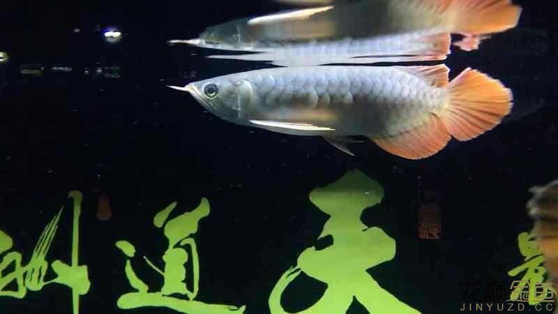 请问我这条是辣椒红龙还是印尼红龙呢 北京观赏鱼 北京龙鱼第2张