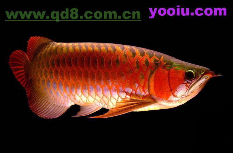 请问我这条是辣椒红龙还是印尼红龙呢 北京观赏鱼 北京龙鱼第3张