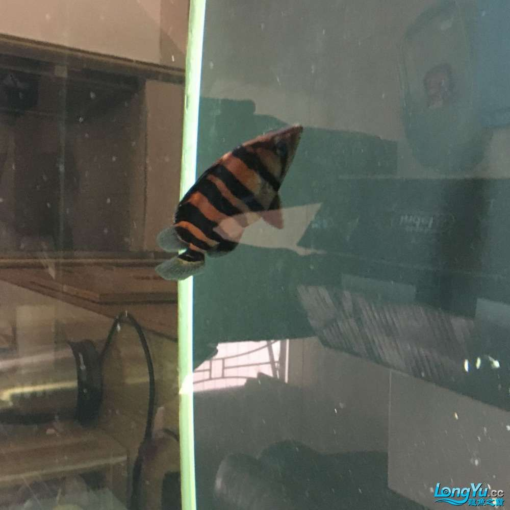 清杂鱼10CM左右红皮四纹和30CM普铁武士 北京观赏鱼 北京龙鱼第1张