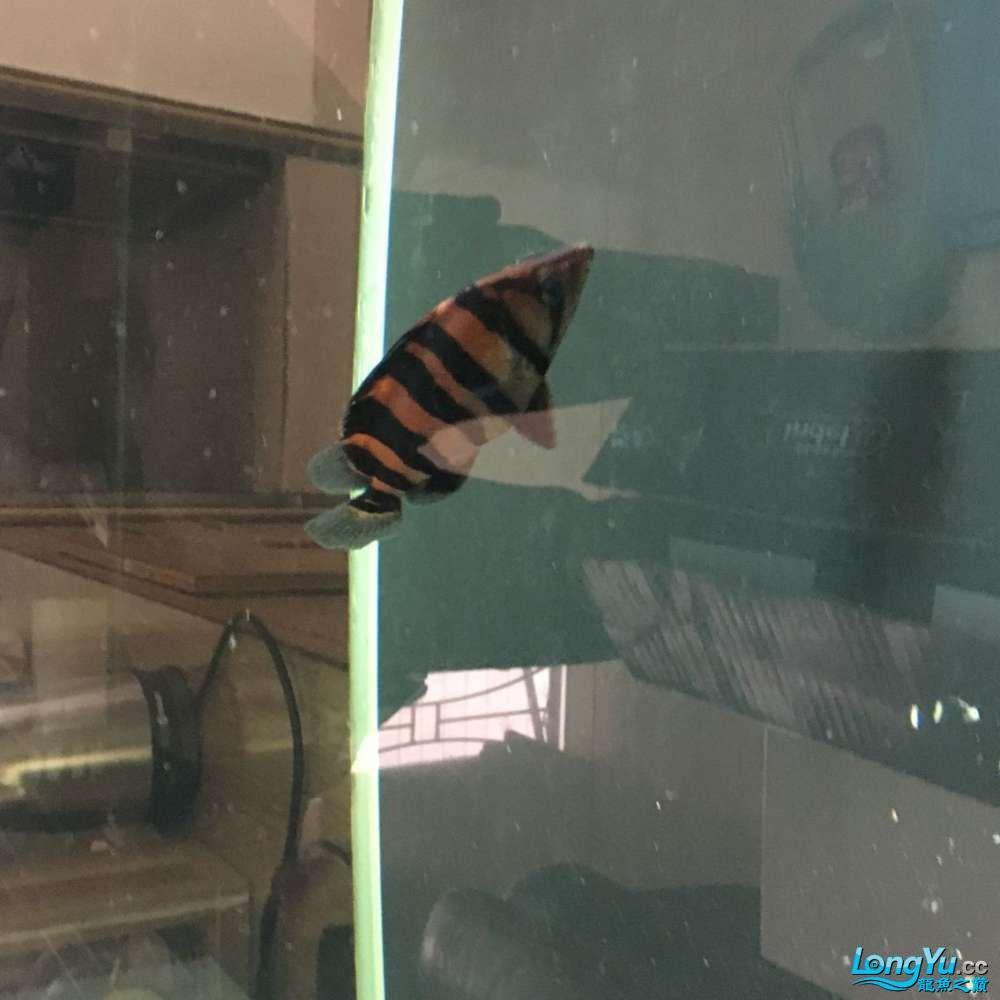 清杂鱼10CM左右红皮四纹和30CM普铁武士 北京观赏鱼 北京龙鱼第5张