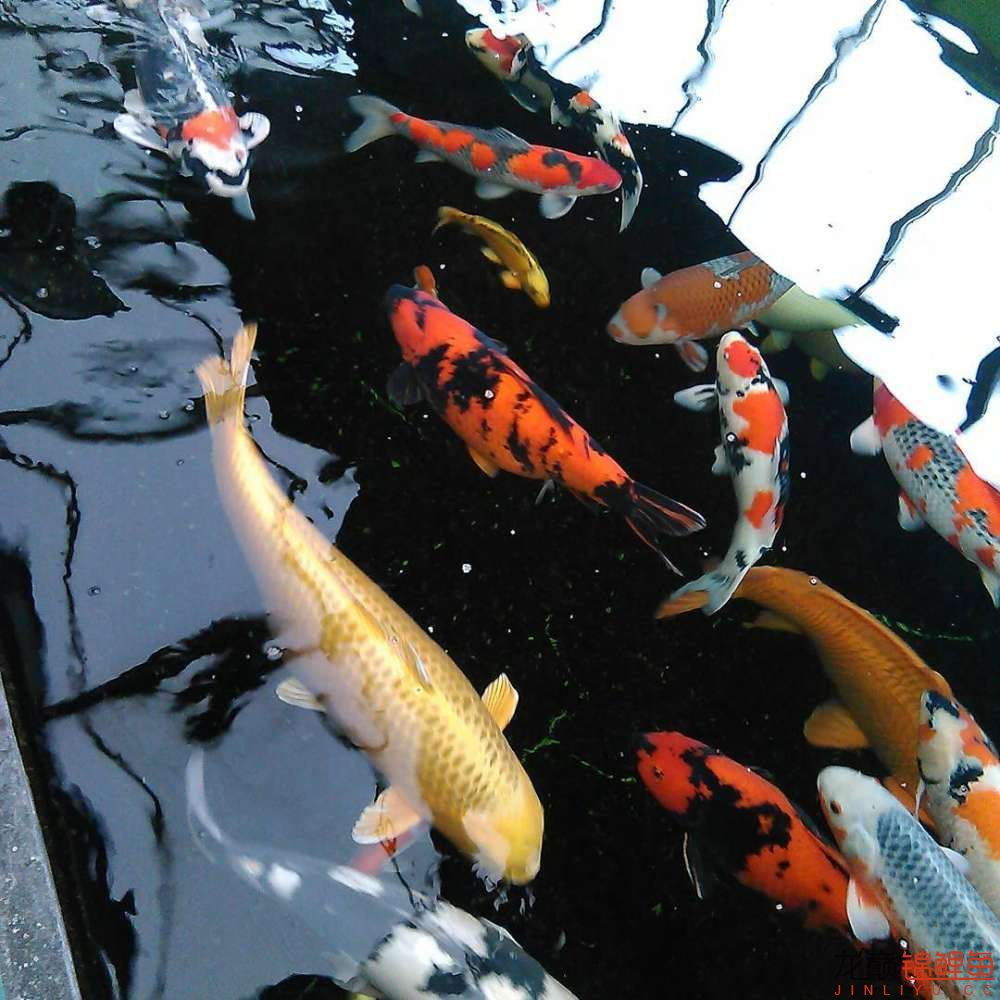养锦鲤还是越多越好啊 北京观赏鱼 北京龙鱼第1张