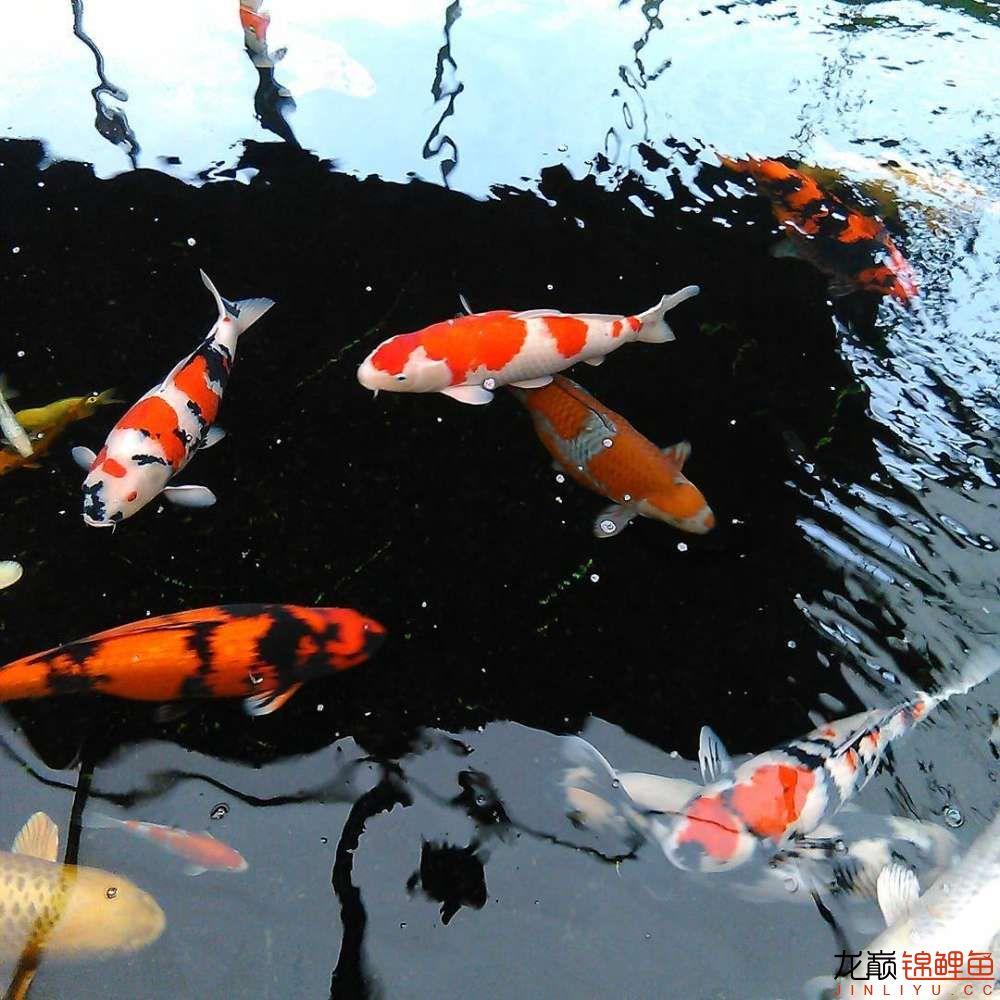 养锦鲤还是越多越好啊 北京观赏鱼 北京龙鱼第2张