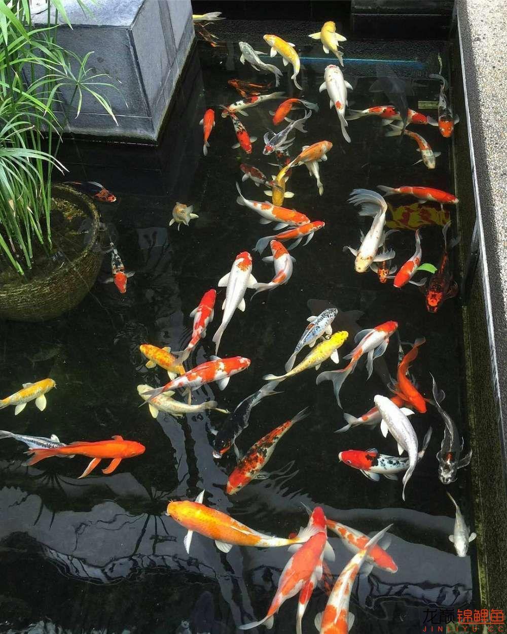 养锦鲤还是越多越好啊 北京观赏鱼 北京龙鱼第4张
