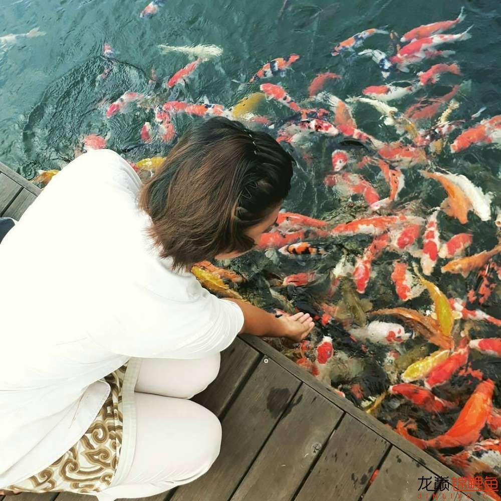 养锦鲤还是越多越好啊 北京观赏鱼 北京龙鱼第5张
