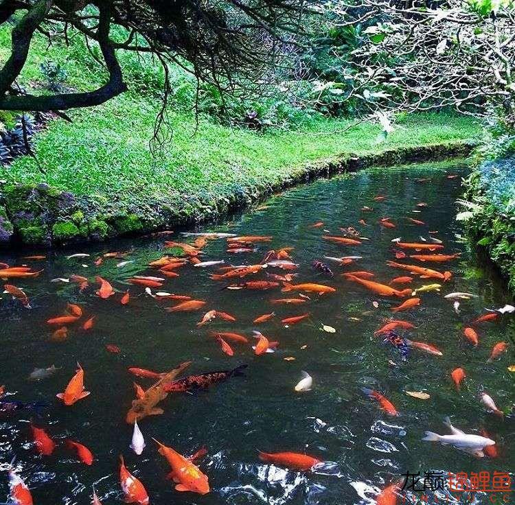 养锦鲤还是越多越好啊 北京观赏鱼 北京龙鱼第6张
