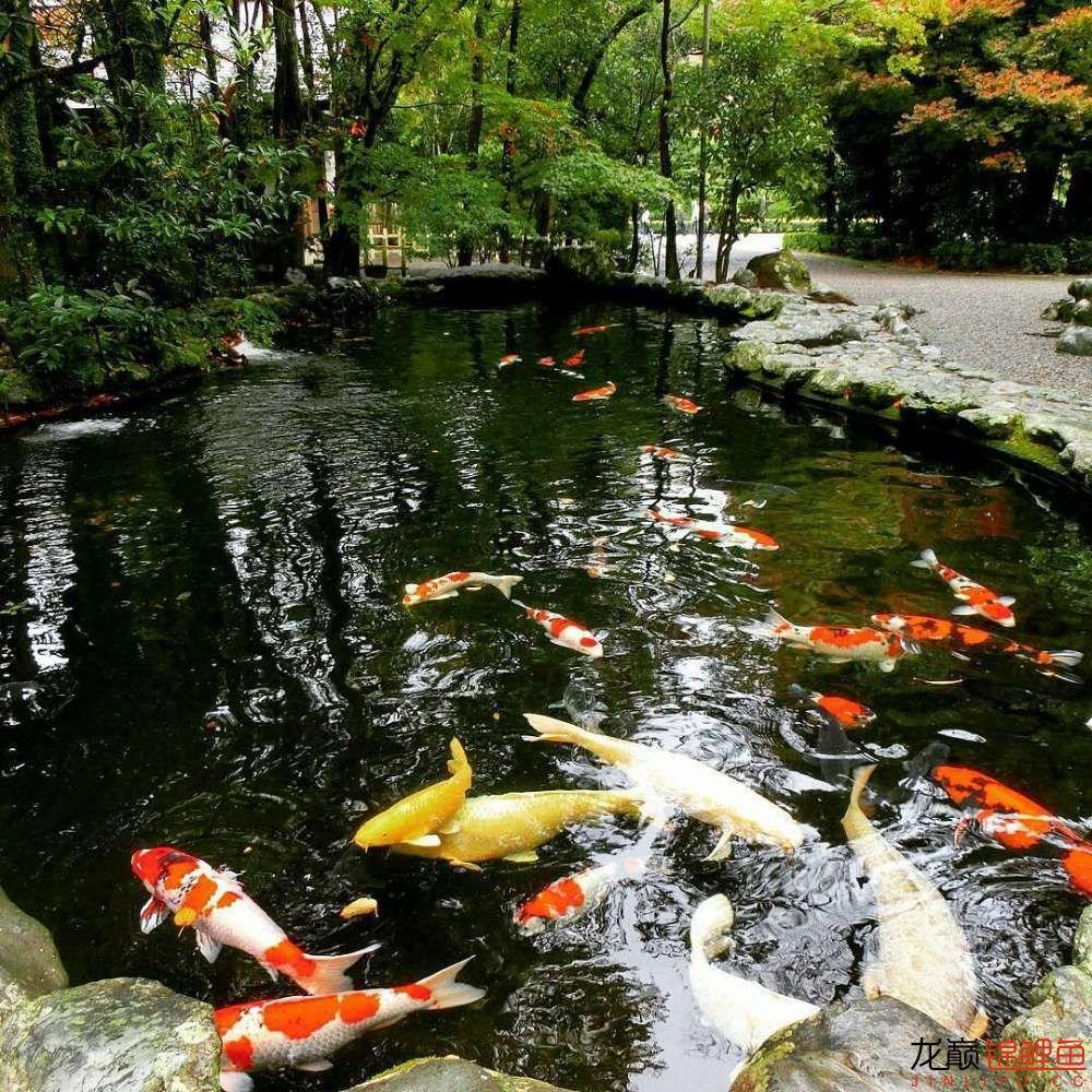 养锦鲤还是越多越好啊 北京观赏鱼 北京龙鱼第8张