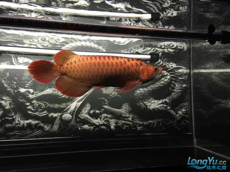 北京哪个水族店有元宝凤凰鱼鱼缸终于干净了 北京观赏鱼 北京龙鱼第1张