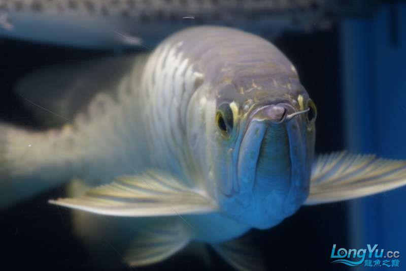 北京黑桃a银板鱼一月一次的零食时间 北京观赏鱼 北京龙鱼第1张