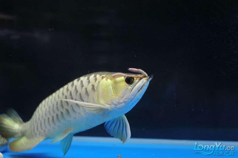 北京黑桃a银板鱼一月一次的零食时间 北京观赏鱼 北京龙鱼第2张