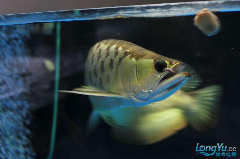北京黑桃a银板鱼一月一次的零食时间 北京观赏鱼 北京龙鱼第3张