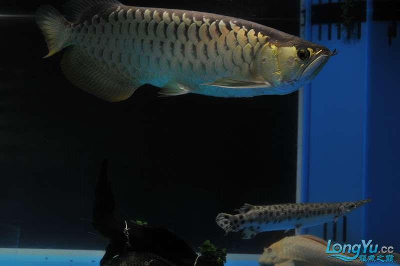 北京黑桃a银板鱼一月一次的零食时间 北京观赏鱼 北京龙鱼第4张