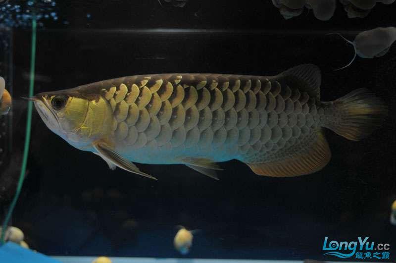 北京黑桃a银板鱼一月一次的零食时间 北京观赏鱼 北京龙鱼第5张