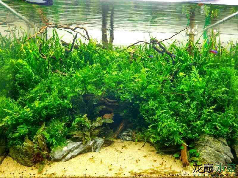 北京印尼三纹虎苗一天一天的折腾个没完 北京观赏鱼 北京龙鱼第1张