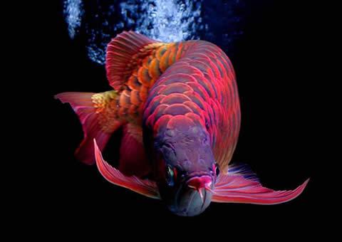 北京二手龙鱼小布和发财鱼混养 北京观赏鱼