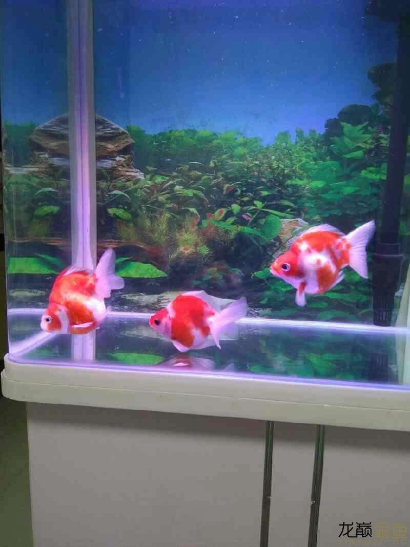 北京直纹飞凤鱼哪个店的最好为什呢鱼鳍老缩着 北京观赏鱼 北京龙鱼第1张