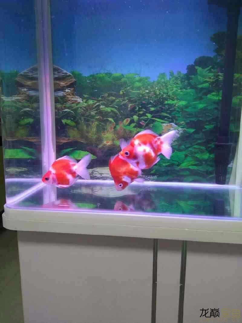 北京直纹飞凤鱼哪个店的最好为什呢鱼鳍老缩着 北京观赏鱼 北京龙鱼第2张
