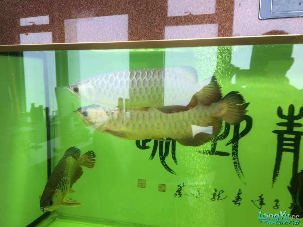 北京黑桃A鱼大金龙挤压小龙在缸内转圈是不是有什么问题