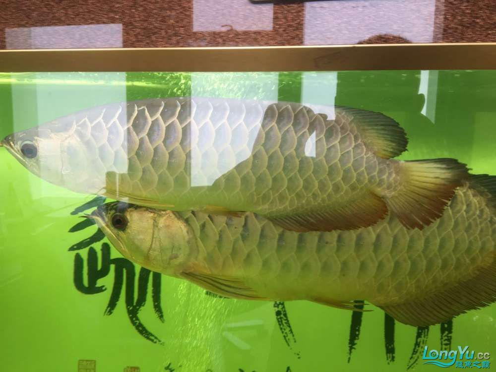 北京黑桃A鱼大金龙挤压小龙在缸内转圈是不是有什么问题 北京观赏鱼 北京龙鱼第3张