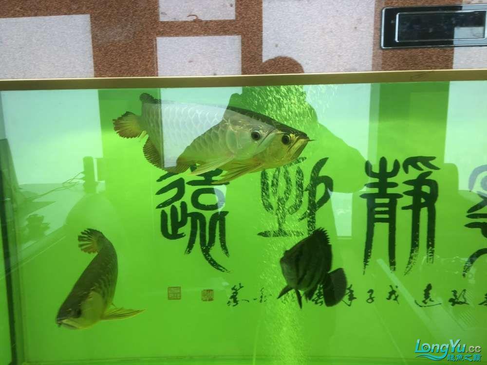 北京黑桃A鱼大金龙挤压小龙在缸内转圈是不是有什么问题 北京观赏鱼 北京龙鱼第4张