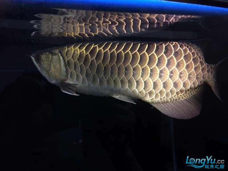 我家的老金 北京观赏鱼 北京龙鱼第2张