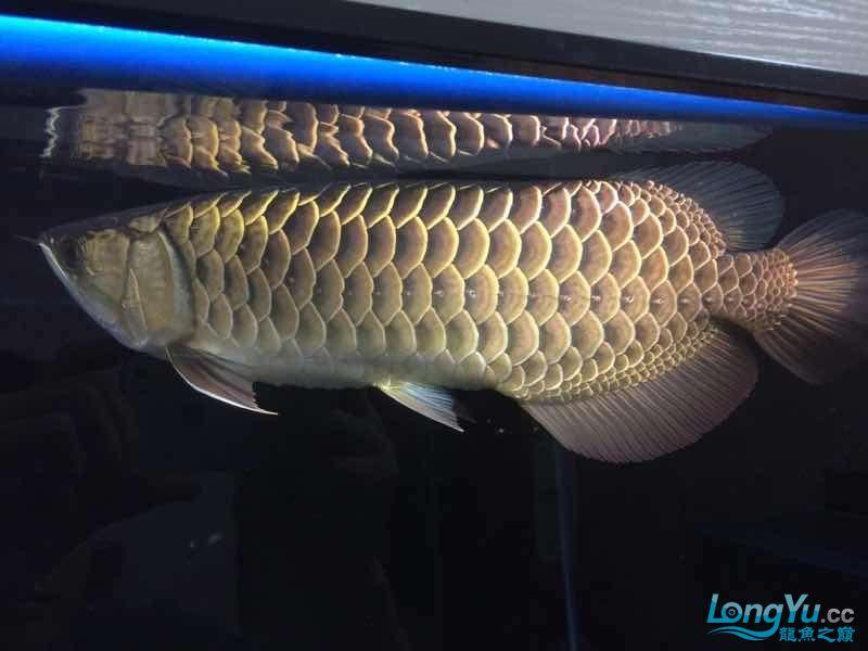 我家的老金 北京观赏鱼 北京龙鱼第6张