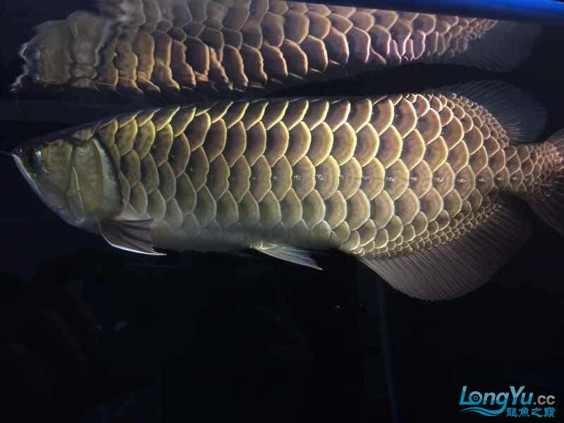 我家的老金 北京观赏鱼 北京龙鱼第7张
