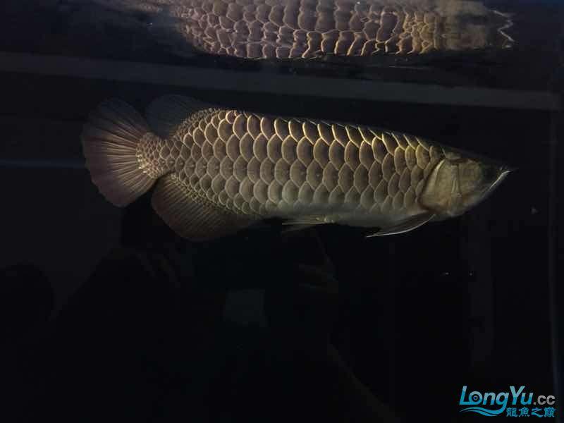 我家的老金 北京观赏鱼 北京龙鱼第8张