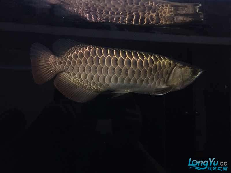 我家的老金 北京观赏鱼 北京龙鱼第9张