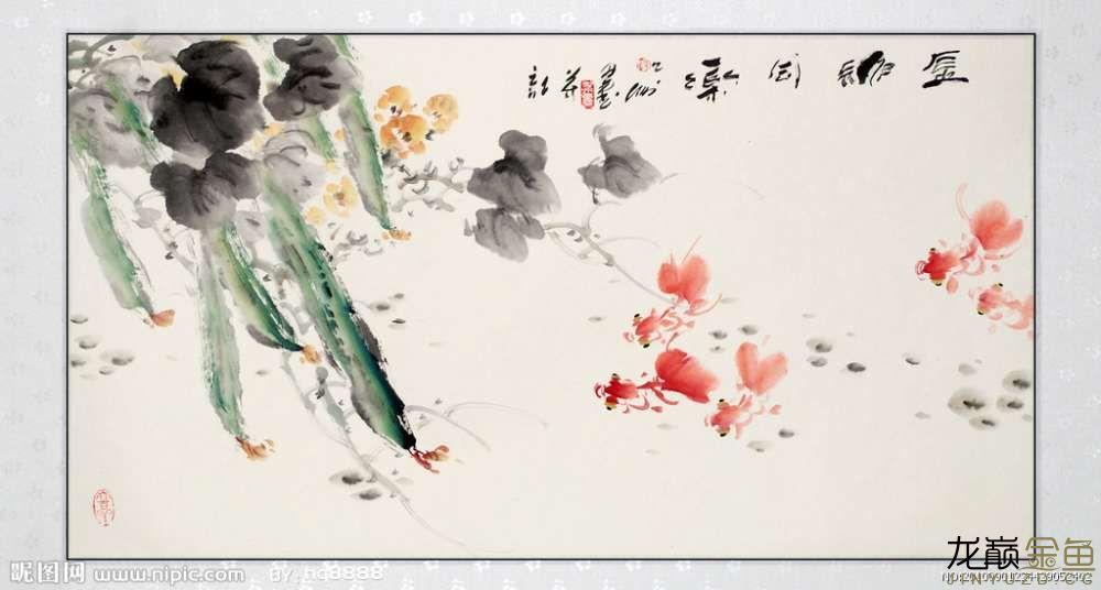 水墨金鱼更显风趣灵动 北京观赏鱼 北京龙鱼第12张
