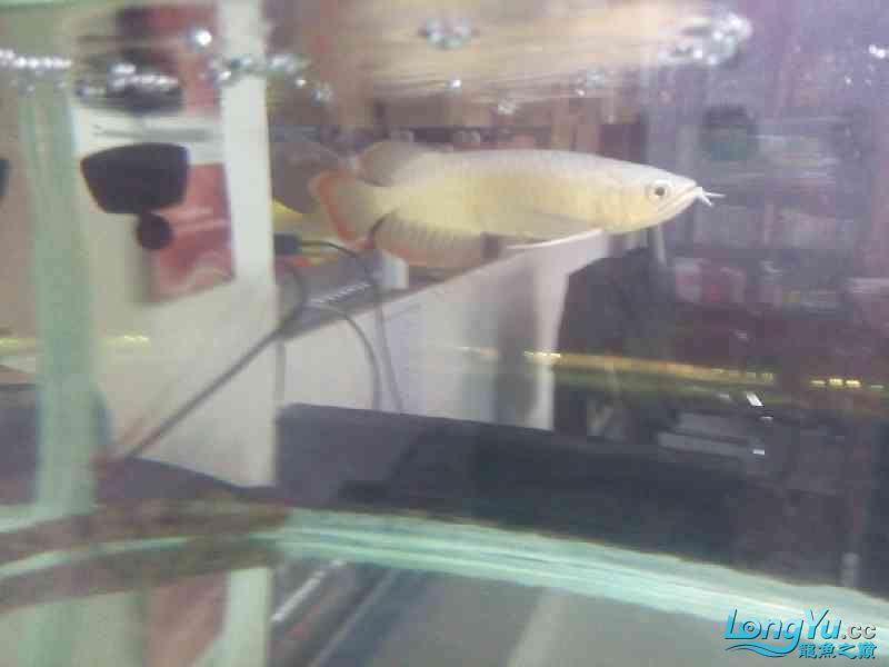 小家伙已慢慢恢复纪录一下 北京观赏鱼 北京龙鱼第2张