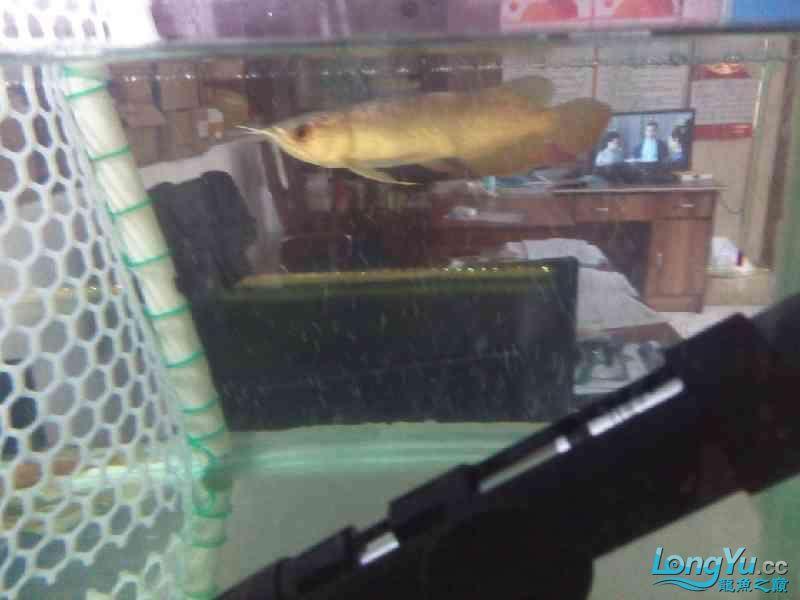 小家伙已慢慢恢复纪录一下 北京观赏鱼 北京龙鱼第3张