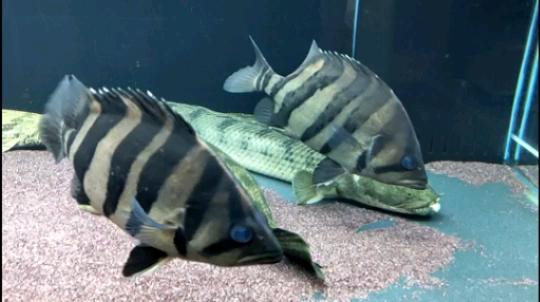 北京粗线鱼在周末挖的鱼 北京龙鱼论坛 北京龙鱼第1张