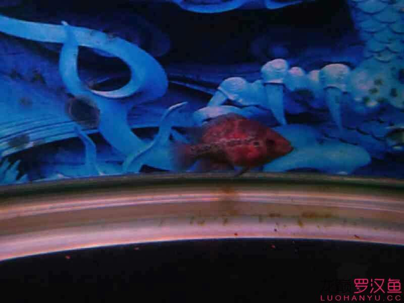 大家给看看啥毛病 北京观赏鱼 北京龙鱼第1张