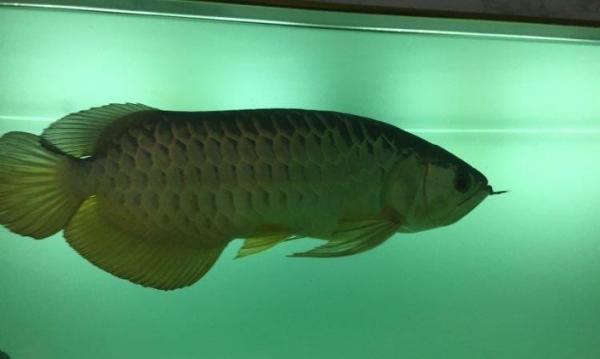 大家帮忙看看你有没有第一个洞 北京观赏鱼 北京龙鱼第3张