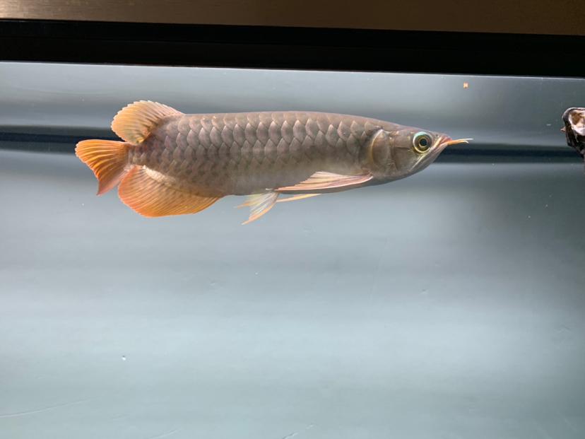 10天后回来变得像这样哈哈哈 北京观赏鱼 北京龙鱼第2张