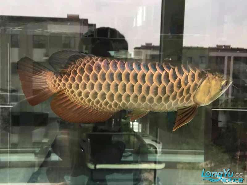 北京最大花鸟鱼虫市场发表我曾经养过的金龙的回忆 北京龙鱼论坛 北京龙鱼第1张