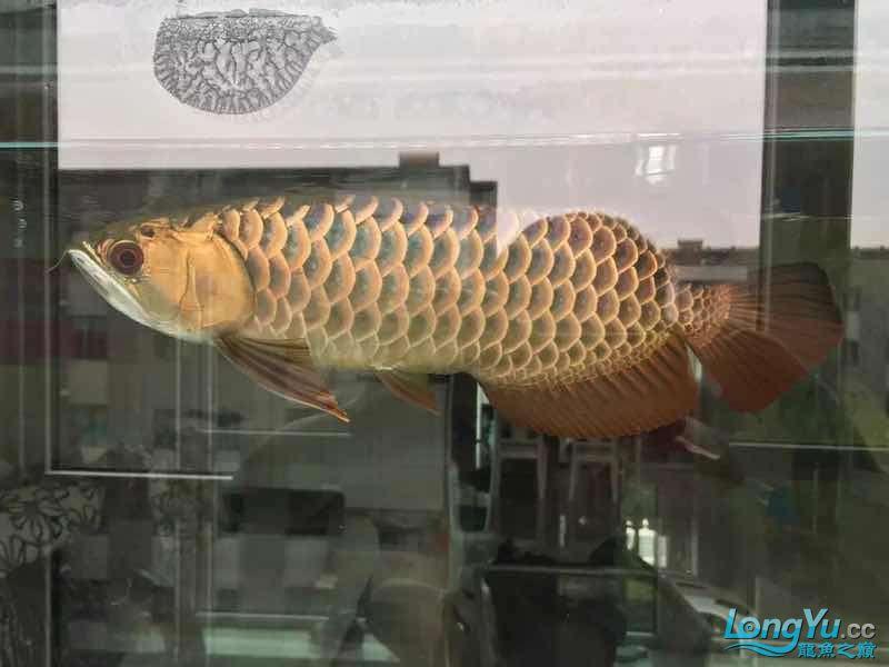 北京最大花鸟鱼虫市场发表我曾经养过的金龙的回忆 北京龙鱼论坛 北京龙鱼第2张