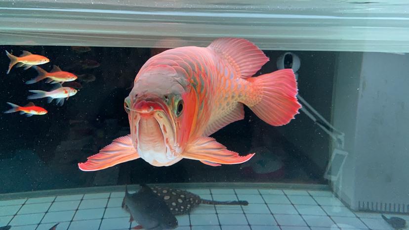 抛后可以在下一段喂鱼 北京观赏鱼 北京龙鱼第6张